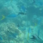 Damsel fish at Blue Pearl Bay