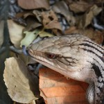 Blue-tongue lizard - note the tongue