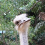 Ostrich at Crocodylus Park