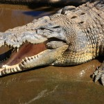 Crocodile cooling its brain off