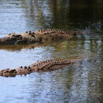 Salties in Crocodylus Park