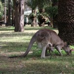 Skippy and Baby-Skippy at Carnarvon Gorge