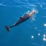 Bottlenose dolphin aka Flipper