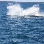 Breaching humpback!