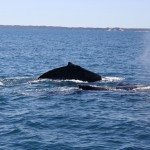 Two humpbacks I
