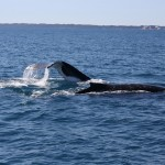 Two humpbacks II