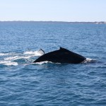 Two humpbacks III