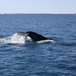 Two humpbacks IV