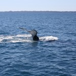 Two humpbacks V