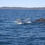 Two humpbacks again II
