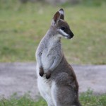 Black-footed rock wallaby .. still cute!